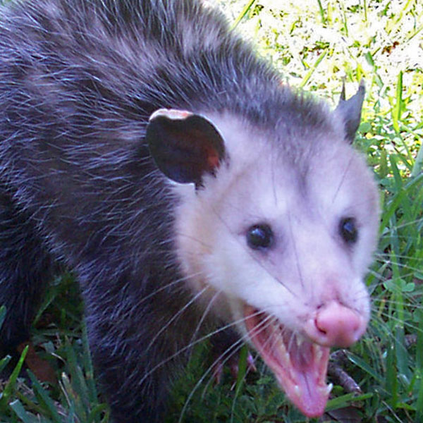 Opossum Removal by Williams Wildlife Removal Charleston SC