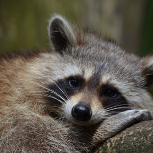Raccoon Removal Charleston SC
