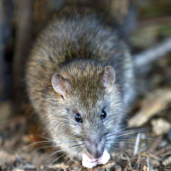 Rodent Removal by Williams Wildlife Removal Charleston SC